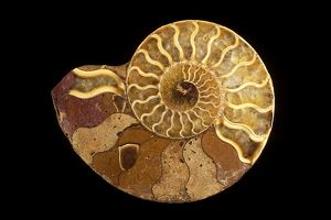 Fossil: Ammonite (cross section) - Name: Perisphinctes