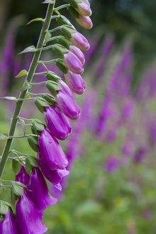 Foxgloves - in flower