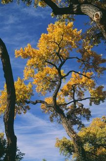 Fremont's Cottonwood Tree - in Autumn colour