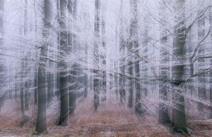 FROST in Beech woodland in Winter - abstract