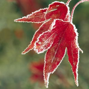 Frost on Maple Leaf