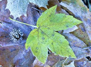 Frosty leaves - autumn coloured maple leaf covered with frost