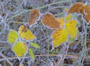 frosty leaves - colourful turned blackberry leaves in autumn