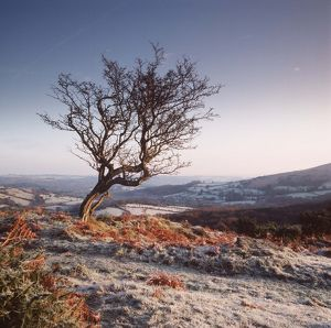 Frosty scene - wind-shaped Hawthorn tree