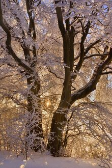 Frosty Winter Scene - snow-covered landscape with the sun shining through the branches