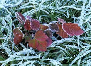 Frozen grass and leaves - colourful autumn leaves of blackberry and grass covered