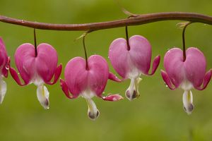 Fumariaceae Bleeding-heart (Dicentra formosa); from North America