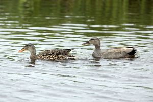 Gadwall - pair on lake Island of Texel, Holland,