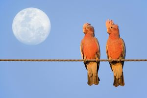 Galah - a pair of Galahs in love sit on a rope with the full moon in their background