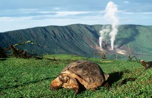 Galapagos Giant TORTOISE - by volcano - Alcedo Crater