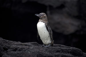 Galapagos Penguin - Standing on a rock on Bartholome
