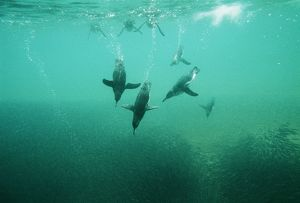Galapagos Penguin - underwater fishing for Anchovy