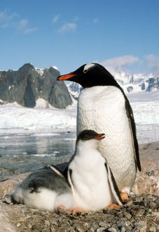 GENTOO PENGUIN - adult with young