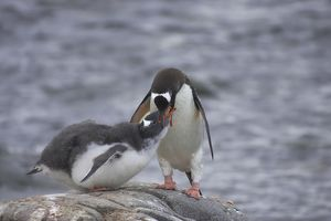Gentoo Penguin - Feeding chick