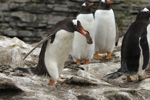 Gentoo Penguin - nest building