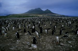 Gentoo penguin - nesting colony