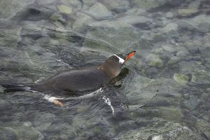 Gentoo Penguin - Swimming