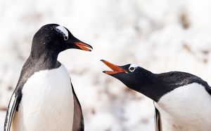 Gentoo Penguins squawking