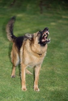 German Shepherd / Alsatian Dog - aggressive
