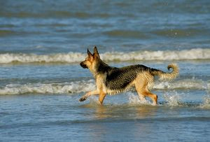 German Shepherd / Alsatian Dog on the beach, playing in the waves