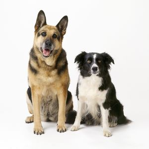 German Shepherd / Alsatian Dog - with Border Collie