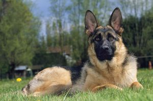 GERMAN SHEPHERD / ALSATIAN DOG - SITTING