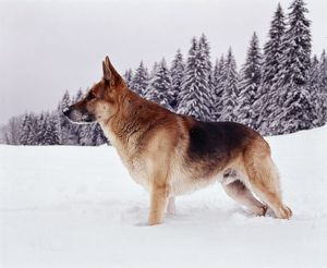 German Shepherd / Alsatian DOG - standing deep snow