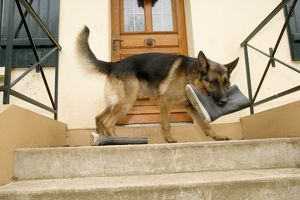 German Shepherd / Alsatian Dog with wellington boot in mouth