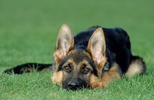 German Shepherd / Alsatian Dog - puppy lying on grass.