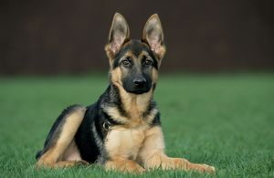 german shepherd alsatian dog young lying grass