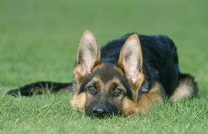 German Shepherd / Alsatian Dog - young, lying down