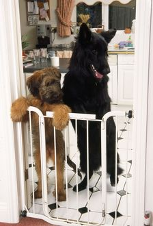 German Shepherd Dog - & Briard puppy standing at inside baby / dog gate.
