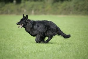 German Shepherd Dog - running in field