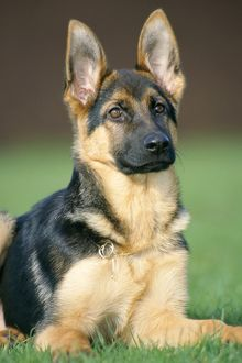 German Shepherd Dog - young, sitting on the grass