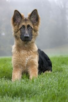 German Shepherd - puppy