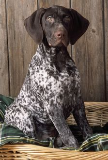 German Short-haired Pointer Dog