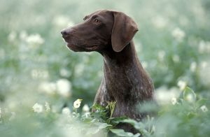 German Short-haired Pointer Dog - Sitting amidst flowers