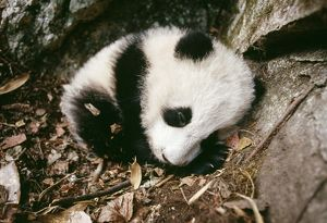 Giant Panda - cub in den.