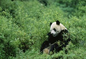 Giant Panda - eating bamboo