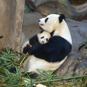 Giant Panda - female holding four month old young born in a Zoo.