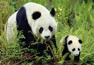 Giant Panda - Mother and Young Cub