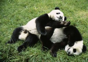 Giant Panda - two playing