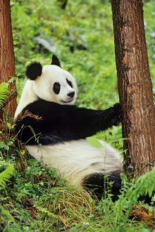 Giant Panda - resting against evergreen tree in bamboo forest of central China