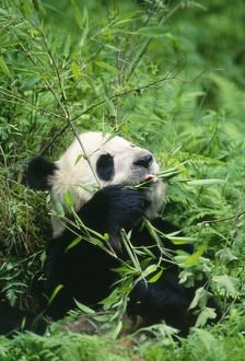 GIANT PANDA - Sitting, eating bamboo