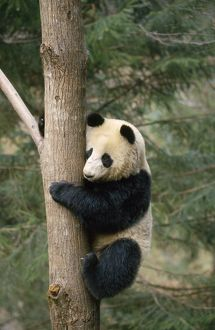 GIANT PANDA ON TREE TRUNK