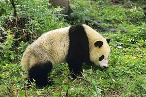 Giant Panda - walking in bamboo forest