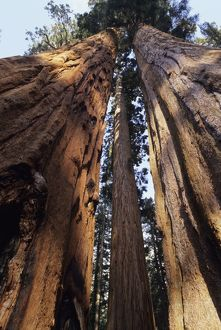 Giant SEQUOIA / Wellingtonia / Sierra Redwood - looking upwards