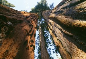 Giant SEQUOIA / Wellingtonia / Sierra Redwood
