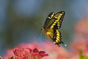 Giant Swallowtail Butterfly - in flight, about to land and nectar on blossom.