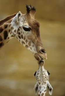 GIRAFFE - Kissing young Giraffe